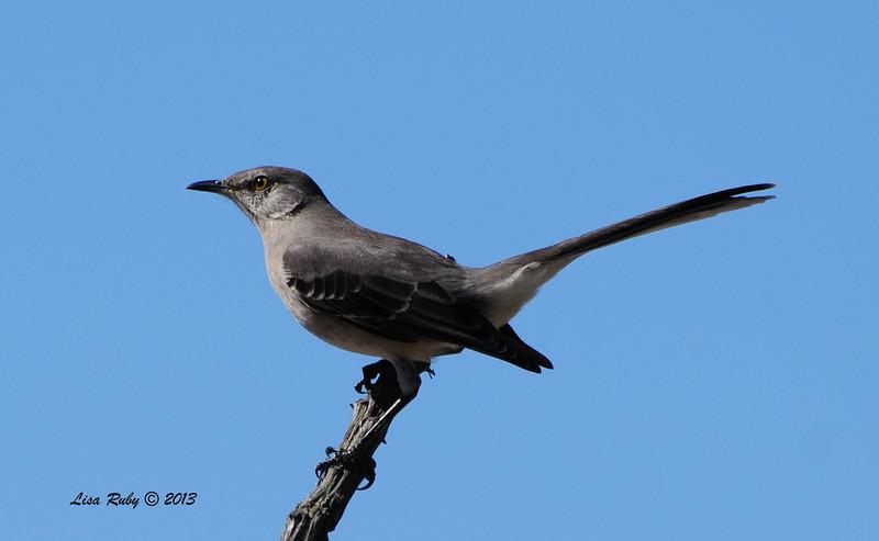 Northern Mockingbird - 9/17/2013 - Backyard, Sabre Springs