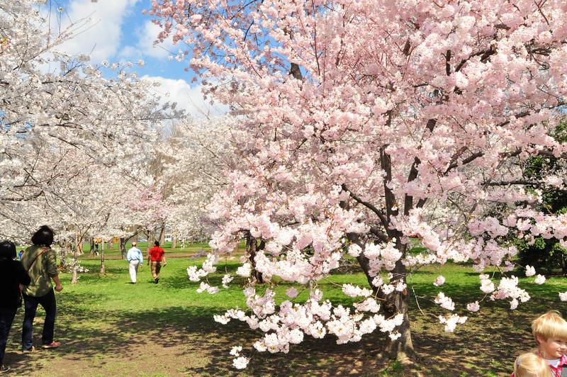 Cherry Blossoms 2014 085.jpg