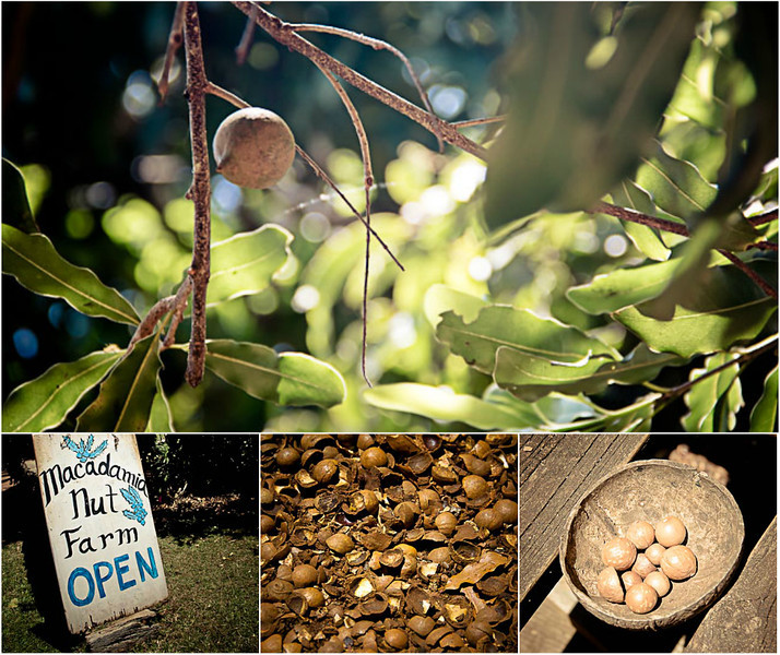 macadamia nut farm.jpg