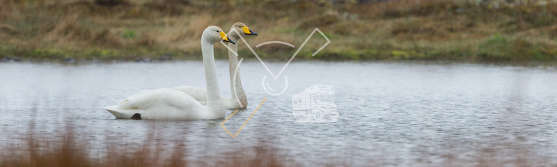 Couple of whooper swan (Cygnus cygnus) swimming in the rain