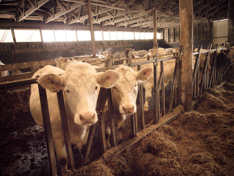 porvoo cows 8.jpg