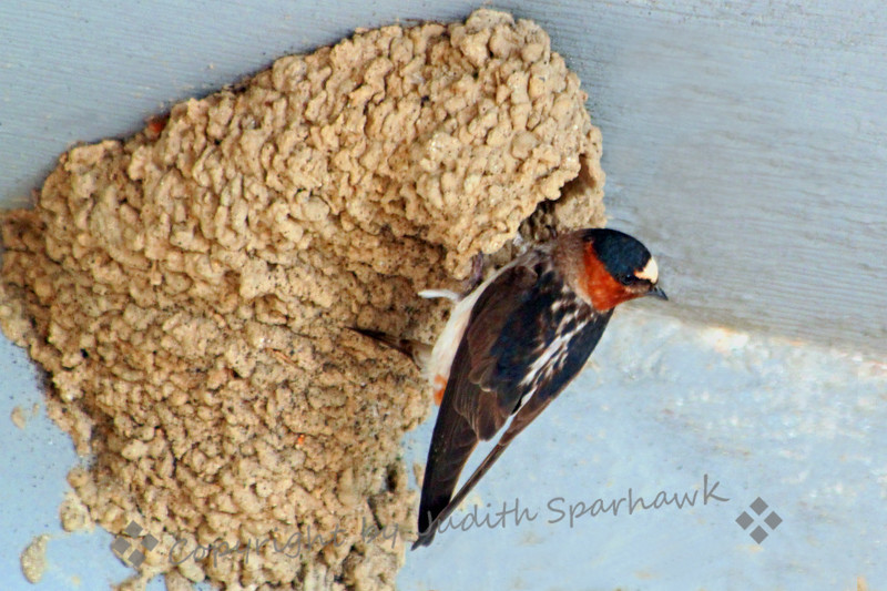 Cliff Swallow Perched at Nest ~ This swallow had just flown to the nest opening, and perched there, feeding the bird inside.