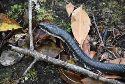 Pilot Mountain - aka black racer encounter