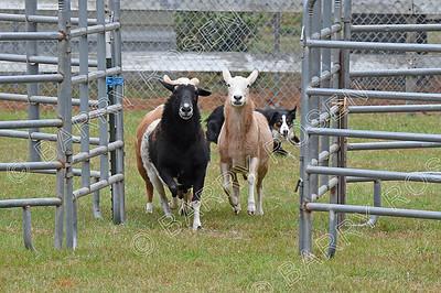 Saturday Sheep/Cattle Herding