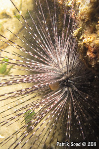 Banded Long-spined Urchin