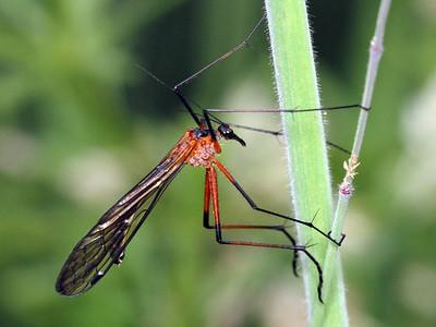 Scorpion Flies - order Mecoptera