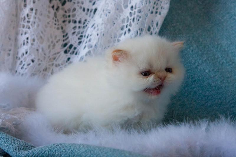 Himi_Kittens_Nov30-8067.jpg