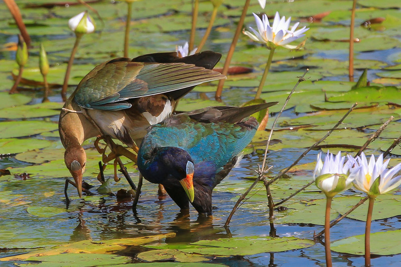 zAnahuac 8-21-14, Old T3i, 097A, juvenile Purple Gallinule with adult (1 of 1).jpg