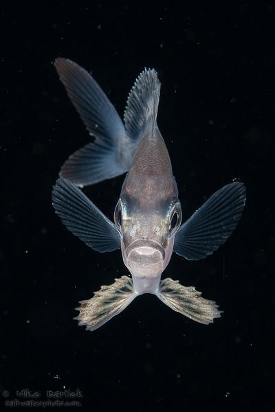 Romblon driftfish (1 of 1).jpg