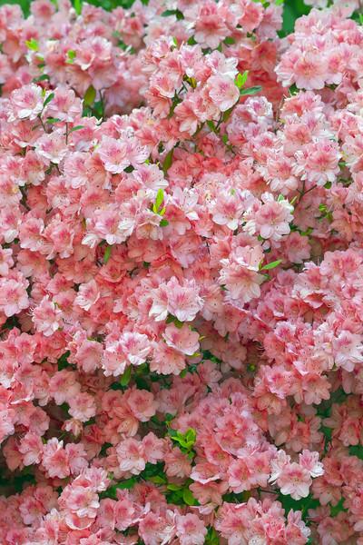 Flowers_Azaleas_Pink_0162.jpg