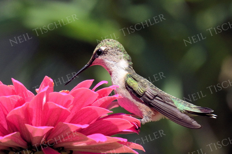 #1078  A male juvenile ruby throated hummingbird perches lightly on a pink zinnia petal, barely deflecting it.
