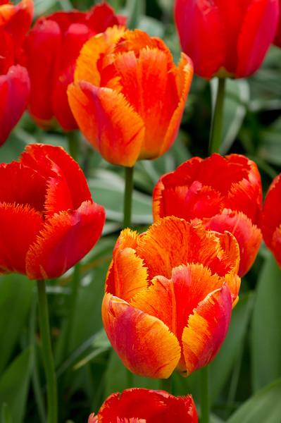 "Tulipa ""Fringed Solstice"" 02"
