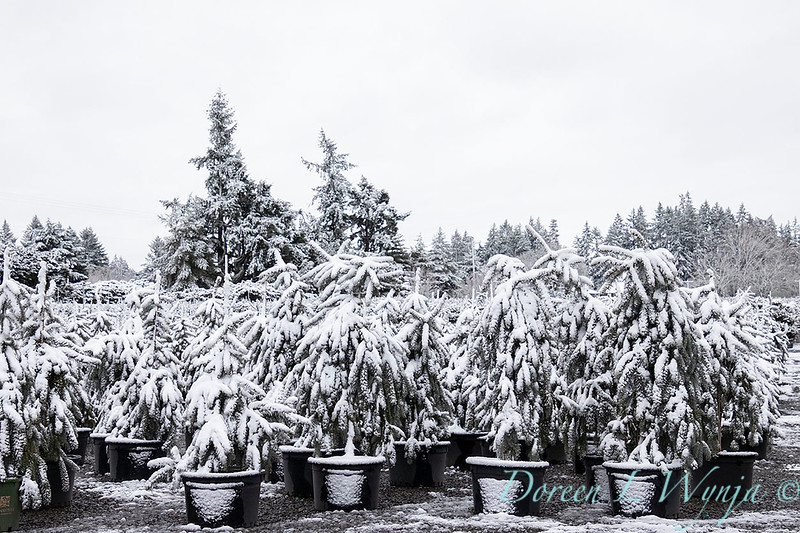 Picea pungens 'The Blues' in snow_4205.jpg