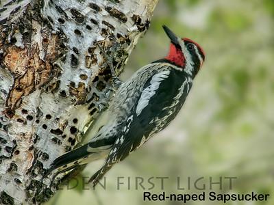 Red-naped Sapsucker, Conboy Lake WA, USA