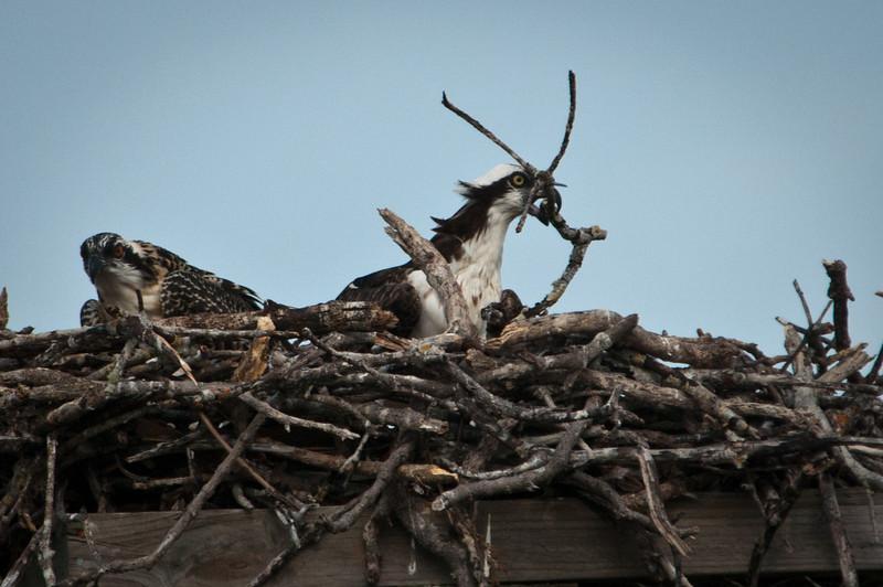 Osprey adding material to nest.