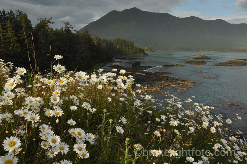 Daisys on the Nutchatlitz Inlet