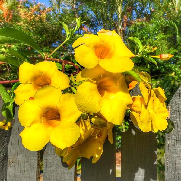 Allamanda Flowers in bloom.jpg
