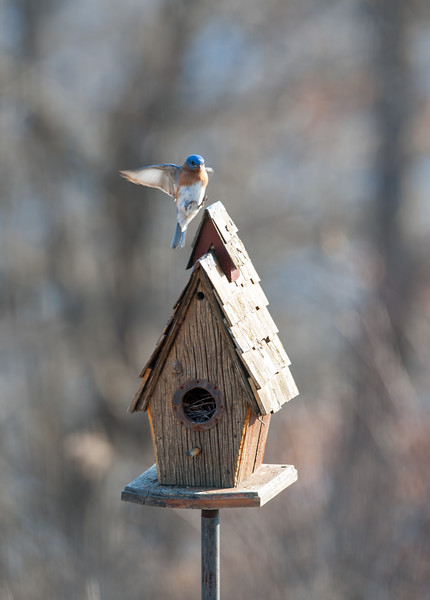 First Spring Bluebirds