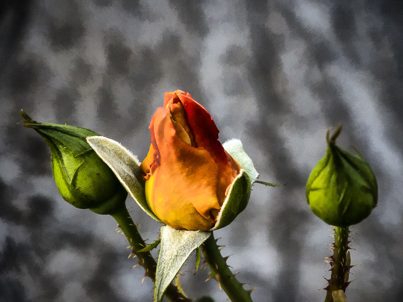 March 20 - Budding rose.jpg