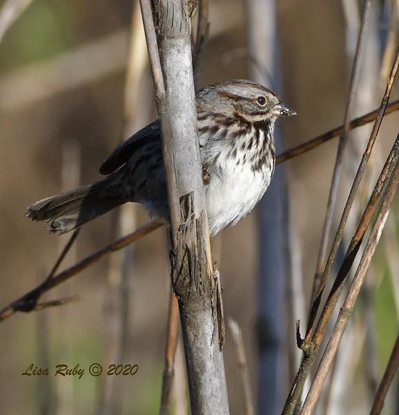 Song Sparrow  - 1/3/2020 - Lake Hodges Bernardo Bay Trail