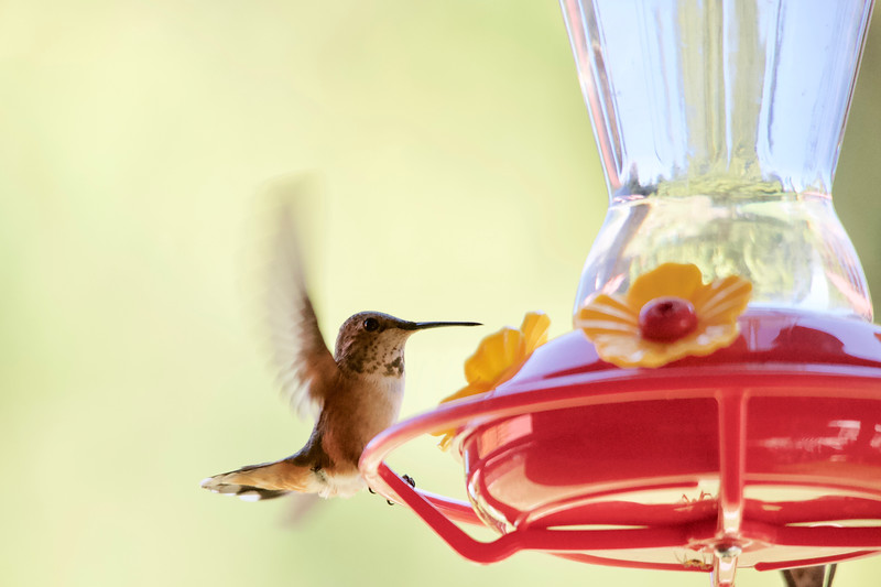 humming bird (2 of 55).jpg