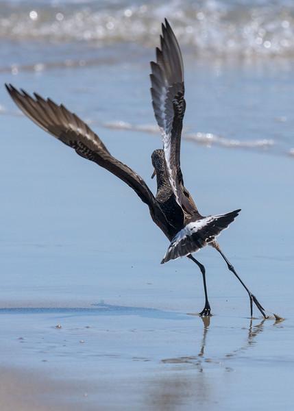 Hudsonian godwit