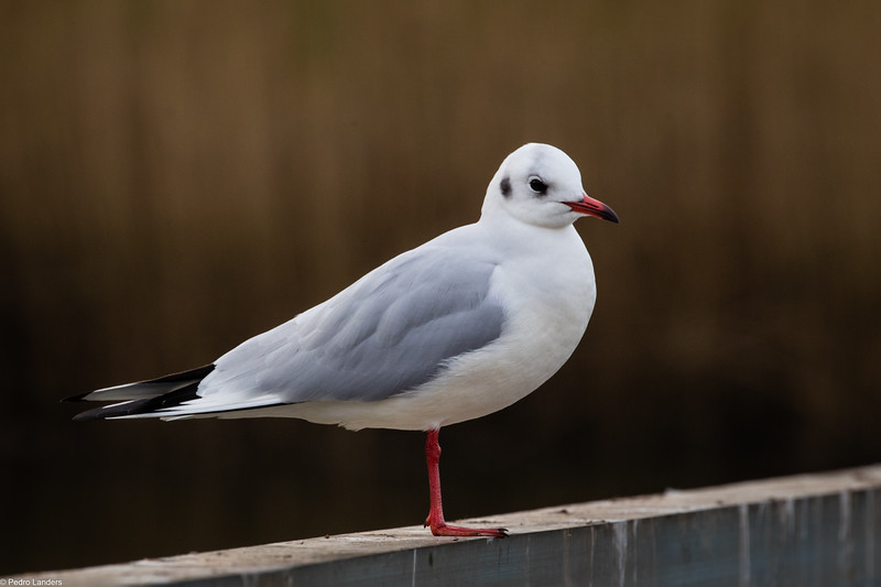 Just a Seagull.jpg
