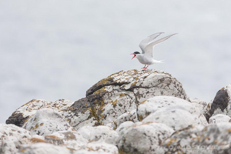 Antarctic Tern-8861