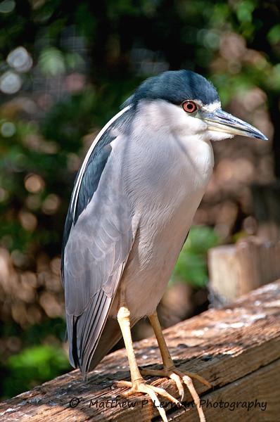 77 Bird Black-crowned night-heron_2383.jpg