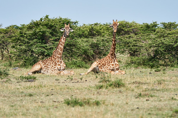 Giraffe Marsh Mara Kenya 2018