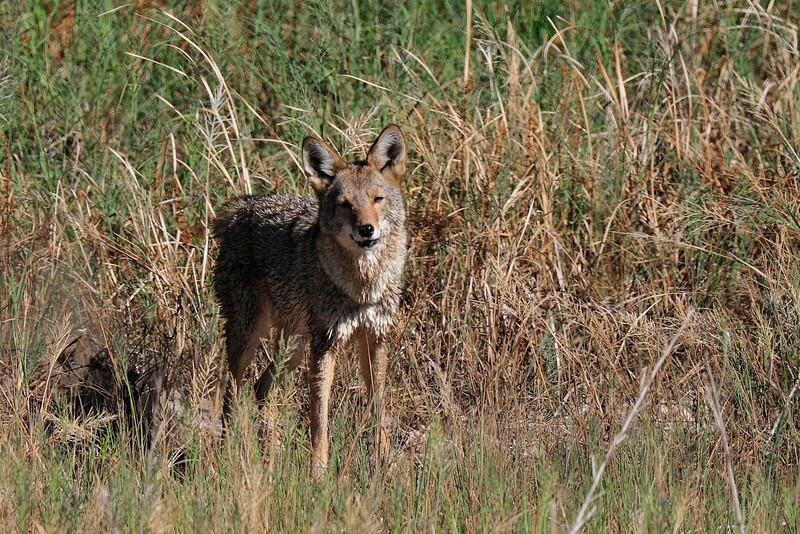 wet_coyote02.jpg