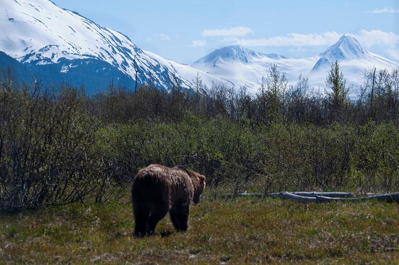 A bear wonders away into the beautiful scenery.