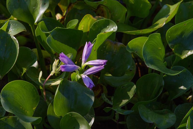 Eichhornia crassipes - Water Hyacinth