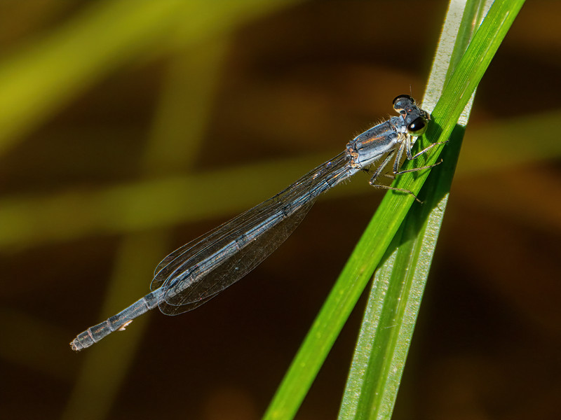 Fragile Forktail (Ischnura posita), female