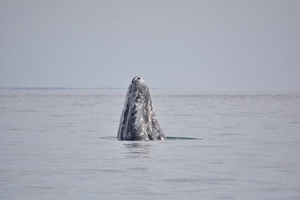 Gray Whale Spyhopping, Magdalena Bay, Baja, Mexico