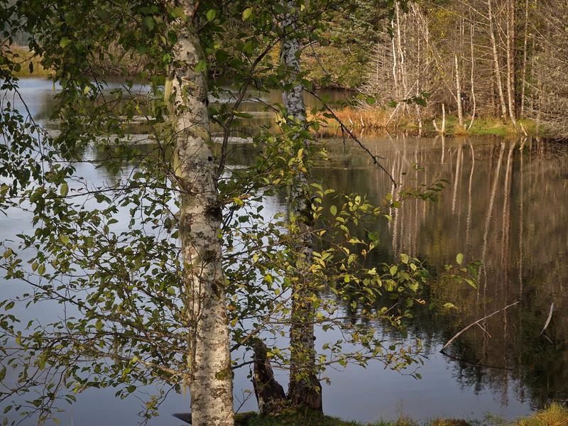 close fall alder at fish pond.jpg