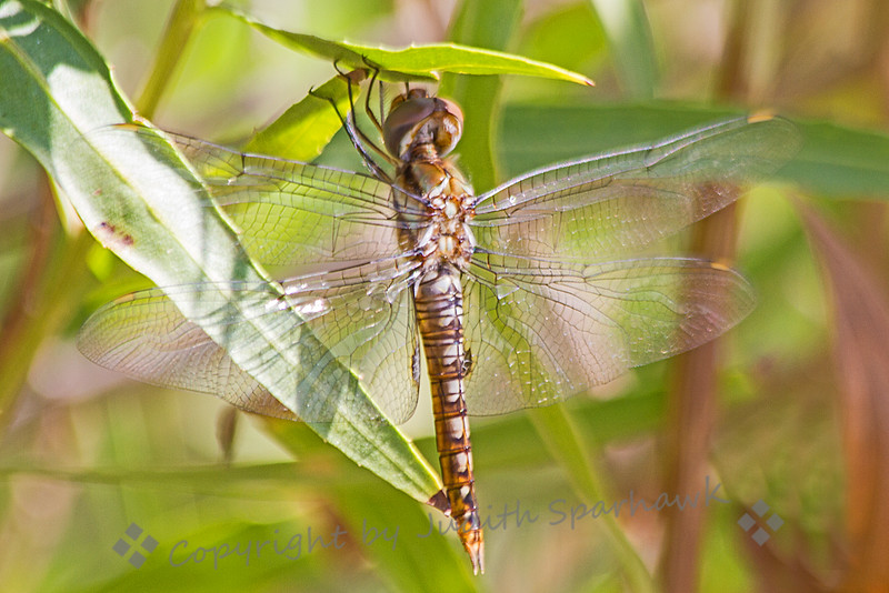 Spot-winged Glider Dragonfly