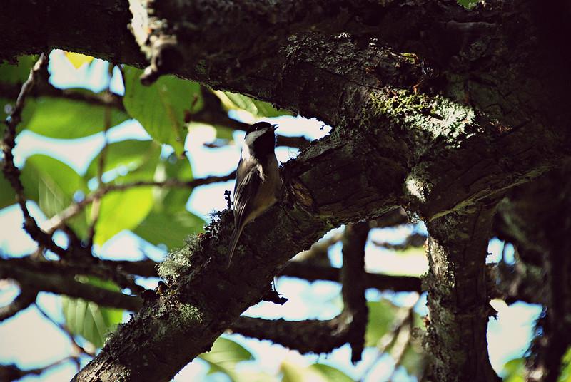 Black-capped Chickadee, WA