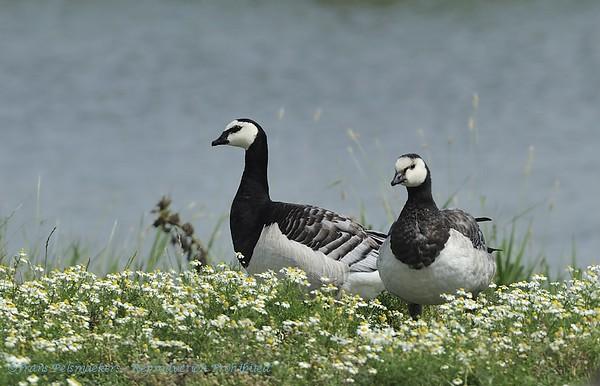 Brandgans; Branta leucopsis; Nonnengans; Barnacle Goose; Bernache nonnette