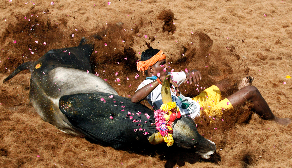 . A bull tamer falls while trying to control a bull during the bull-taming sport called Jallikattu, in Alanganallur, about 530 kilometers (331 miles) south of Chennai, India, Wednesday, Jan. 16, 2013. Jallikattu is an ancient heroic sporting event of the Tamils played during the harvest festival of Pongal. (AP Photo/Arun Sankar K.)