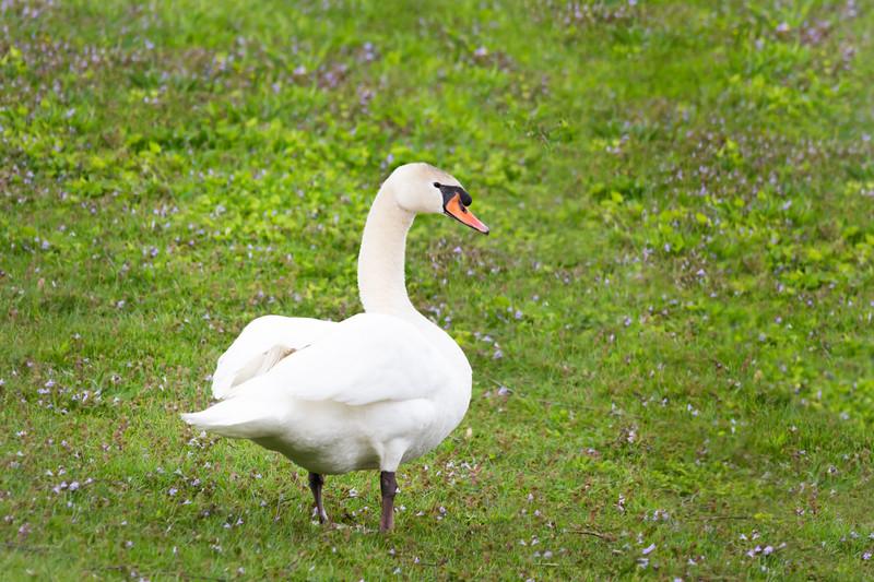 mute swan_-2.JPG