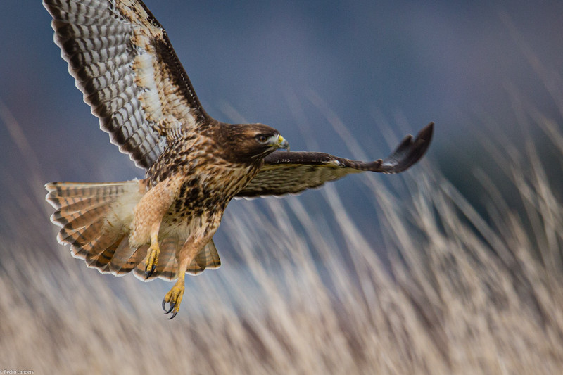 Red-Tailed Hawk 02.jpg