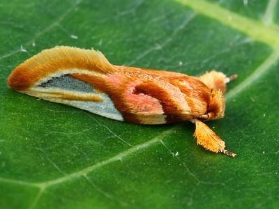 subfamily Oecophorinae