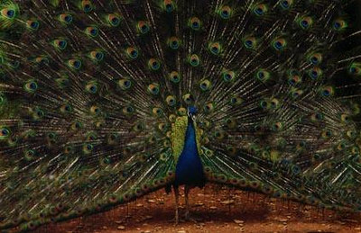 9 Mr.-Peacock-puts-on-a-show.jpg