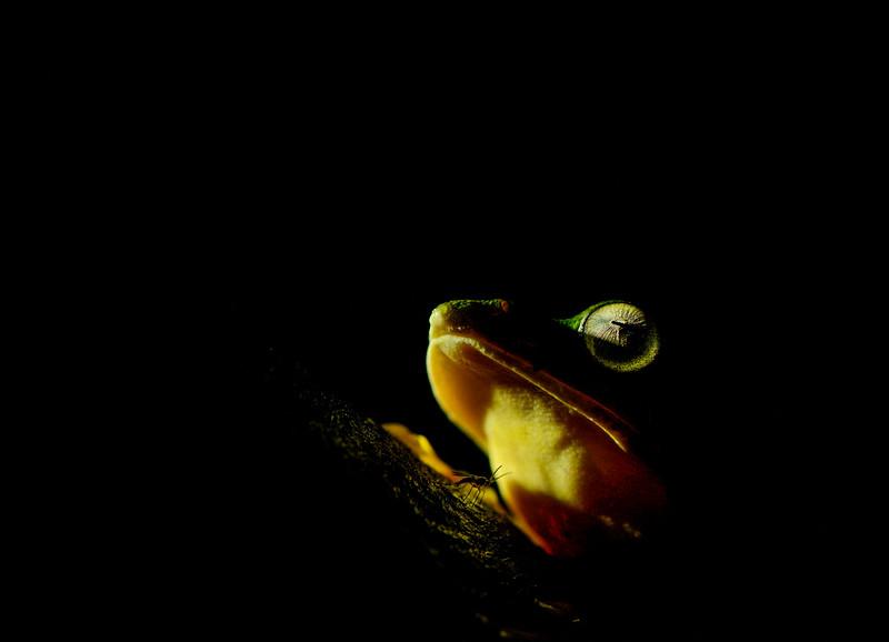 Malabar-Gliding-frog-artistic-version-amboli-1.jpg