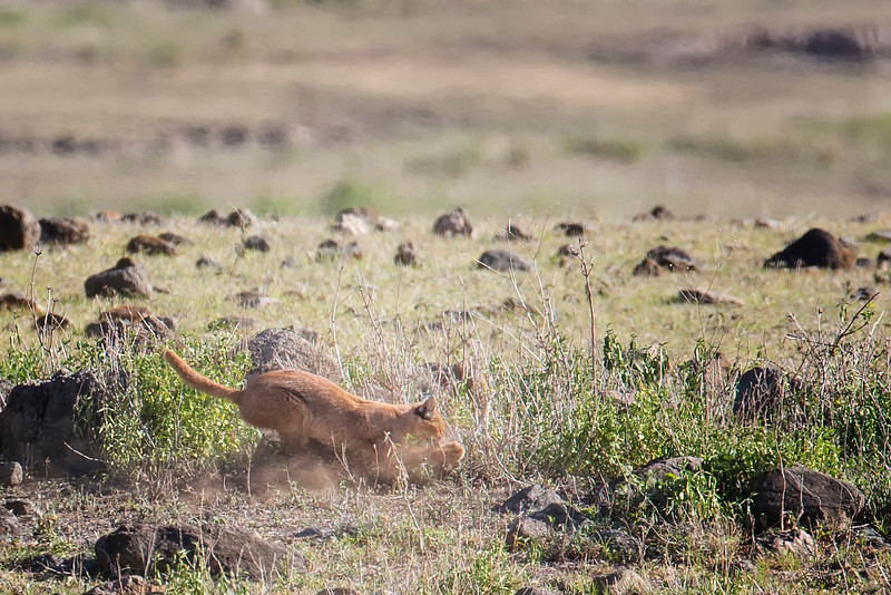 Caracal Kill Ngorongoro