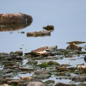 060-11 Charadrius hiaticula, Större strandpipare, Common Ringed Plover