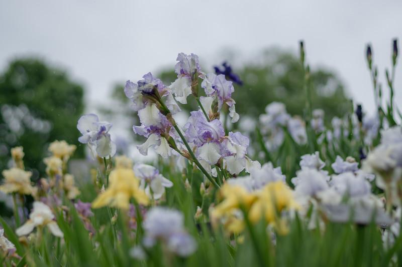 Arboretum Flower Iris-06400.JPG