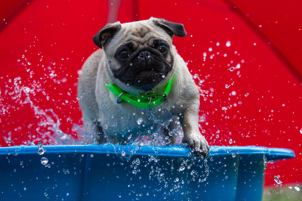 . A pug plays in a tub during a pug dog meeting in Berlin August 3, 2013. Thirty one dogs took part in a competition that was organized by a local pug dog association. REUTERS/Thomas Peter