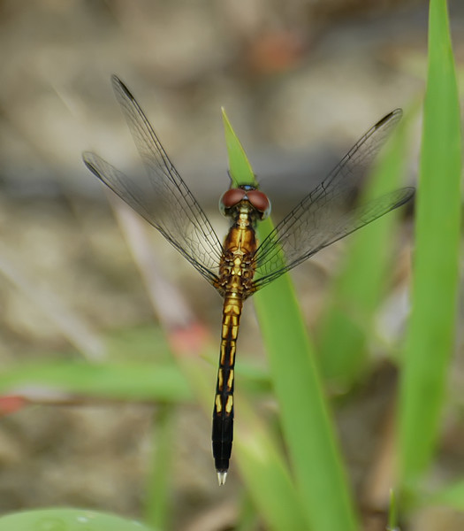 Erythrodiplax minuscula (Little Blue Dragonlet), GA - male